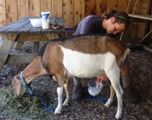 Recorded Grade / Experimental Dairy Goat