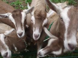 Toggenburg dairy goat